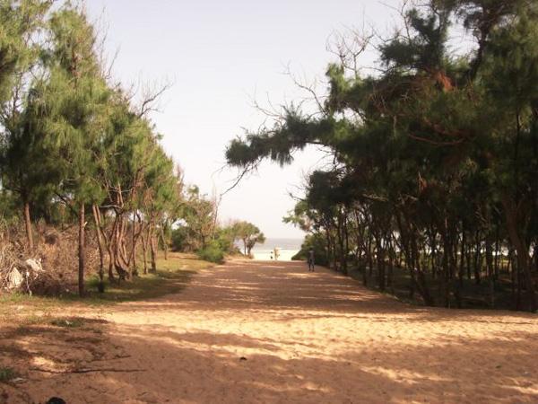 Guédiawaye : Le bradage des filaos en gestation