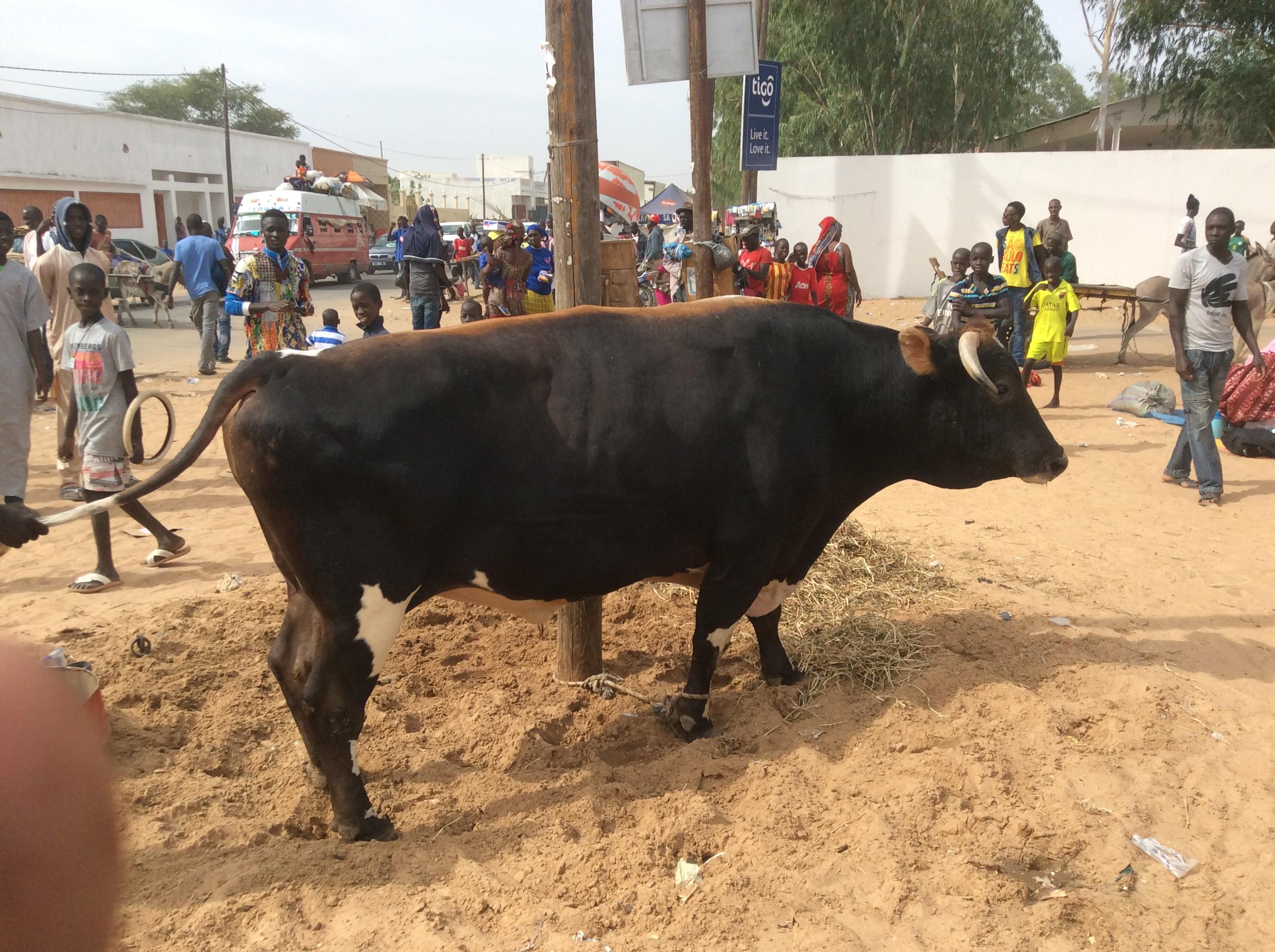 Photos - Magal de Touba 2015 : Cheikh Béthio Thioune étale toute sa puissance