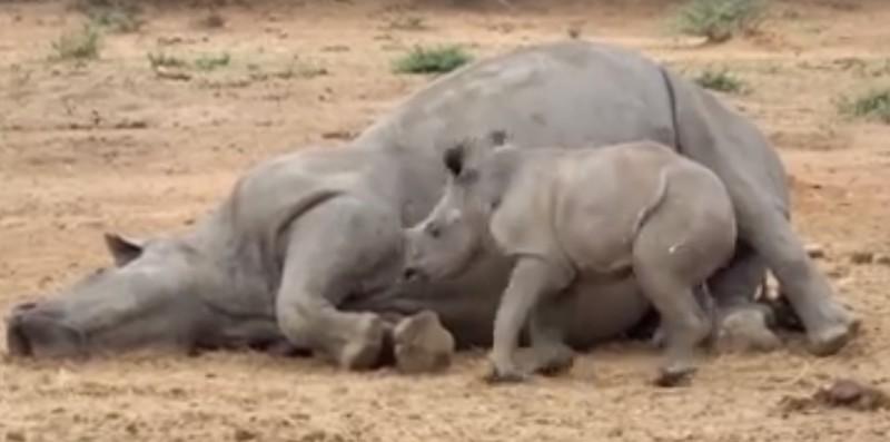 Le bébé rhino veut réveiller sa maman tuée par des braconniers. Mais regardez ce que le petit est devenu ensuite!