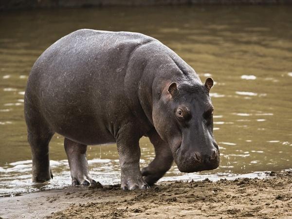 L'hippopotame ressort de son lit : Gouloumbou se prépare à abattre l'animal