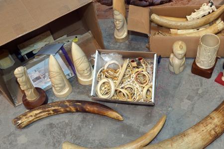 Criminalité faunique à Ziguinchor : Saisie de 1081 pièces d'ivoire, poils d'éléphants, trophées de lion et 16 carapaces de tortues vertes