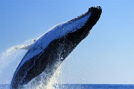 Héroïque : des baigneurs sauvent un grand requin blanc échoué