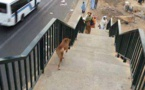 Sénégal: Les gens traversent l'autoroute, un chien emprunte la passerelle: la photo qui fait le buzz
