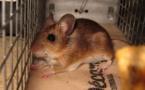Insolite : une souris impliquée dans un trafic de drogue