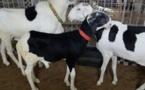 Insolite : Bergerie Serigne Fallou propose 10 000 000 fcfa pour un mouton?