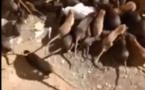 Vidéo:  incarcéré dans une prison infestée de rats, il saisit la justice, regardez!