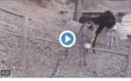 Vidéo: regardez ce qu'a fait cet âne!!!