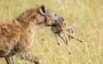 6 Photos : rivalité entre lions et hyènes au Masai Mara dans le sud du Kenya, regardez