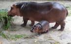 VIDEO - « Dina fetal hippopotame yi* » (à mourir de rire)