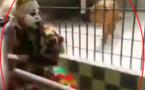 """Vidéo - Insolite: Le Lion et le """"Faux Lion"""" qui est le Vrai lion à mourir de rire...Regardez"""