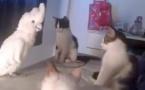 Les 3 chats sont devant le cacatoès. Maintenant, préparez-vous à tout un choc en voyant ce que l'oiseau va faire !