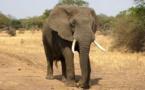 Cette application de traduction permet de parler aux éléphants