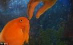 Ce poisson est tellement content de voir son maître ! Sa réaction fait fondre le coeur.