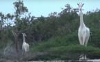 Insolite-Des girafes blanches filmées au Kenya : les images d'une première mondiale