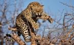 Insolite : Dramatique attaque de léopard sur un homme ( Ames sensibles s'abstenir)