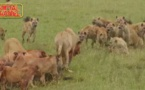 Insolite: Compilations attaque Lions contre Hyènes, impressionnant