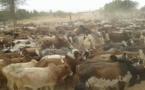 Des milliers de bœufs, 1000 moutons et 30 chameaux…: L'incroyable troupeau de Cheikh Béthio pour le Magal