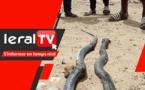 VIDEO - Sipres 5 de Mbao : Des serpents sèment la terreur, les habitants interpellent les autorités