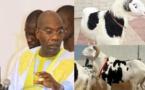 VIDEO - Des moutons de Tabaski offerts par les Thiantacones à leur Khalife général