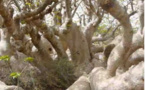 VIDEO - Extraordinaires baobabs de l'île aux serpents (Iles de la Madeleine) - Sénégal
