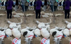 Drame à Sacré-Coeur: Un Vendeur de moutons vient de perdre son cheptel par intoxication alimentaire (Vidéo)