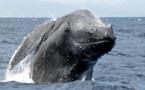 Histoire incroyable, pourtant confirmée: Un pêcheur avalé par une baleine s'en sort miraculeusement