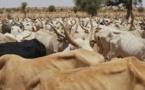 25 bœufs portés disparus: Le jeune berger écope de 6 mois de prison ferme