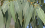Ses bienfaits sur la santé : L'eucalyptus