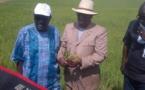 Le Sénégal peut-il réellement être autosuffisant en riz A l'année 2017 ?