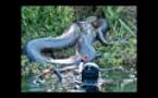 Les plus grands serpents au monde capturés vivants