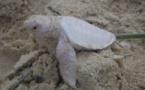 Voici Alby, une tortue albinos extrêmement mignonne