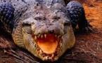 Crocodile vs serpent géant  -  Documentaire animalier