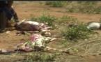 Vidéo-Tentative d'abattage d'une cinquantaine d'ânes à Mbour : 6 personnes interpellées