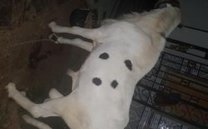 Le geste touchant de Macky qui offre son mouton de Tabaski à son ami Ahmed Khalifa Niasse