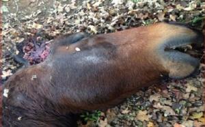 Fétichisme, rituel satanique ou  défi sur Internet en France ? : Un cheval retrouvé mort dans un pré, mutilé,  avec l'oreille droite coupée