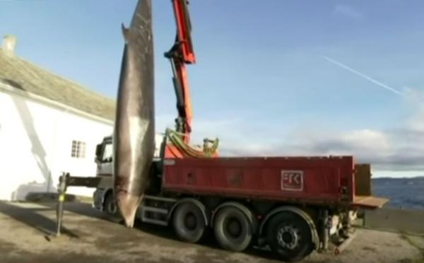 Vidéo-Une baleine, qui ne pouvait plus se nourrir, avait 30 sacs plastiques dans l'estomac
