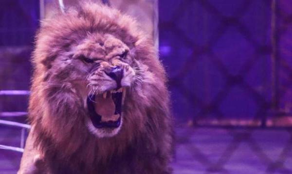 Somme : un lion saute à la gorge de son dompteur en plein numéro de cirque
