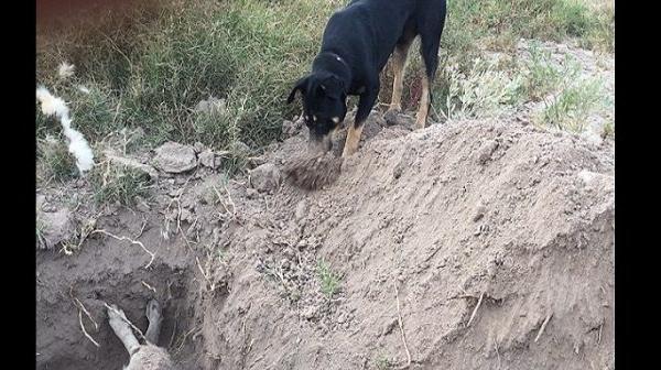 VIDÉO - Insolite: Moment triste d'un chien en train d'enterrer son congénère au Chili