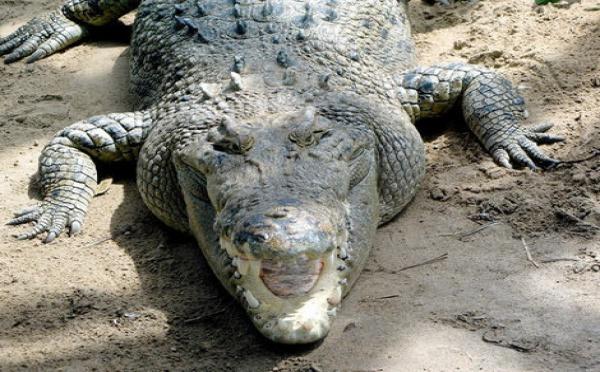 Un crocodile arrêté et mis en prison en Australie