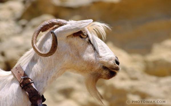 """La police nigérienne arrête une """"chèvre"""""""