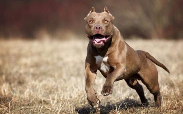 Insolite : Un pitbull idiot attaque un cheval et en paye le prix fort, regardez