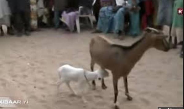 VIDEO - Incroyable mais vrai : Une chèvre accouche d'une agnelle à Gadaya