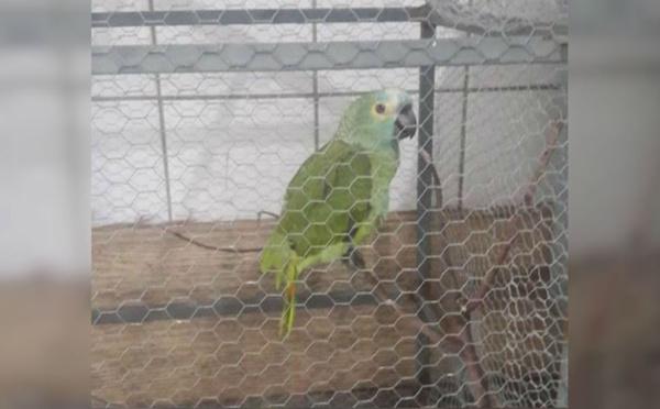 """Un perroquet placé en garde-à-vue après avoir crié """"Maman, la police """" !"""