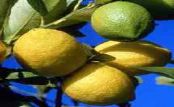 Conseil Santé : Des Céphalées au Tremblement, 38 maux guéris par le Citron !