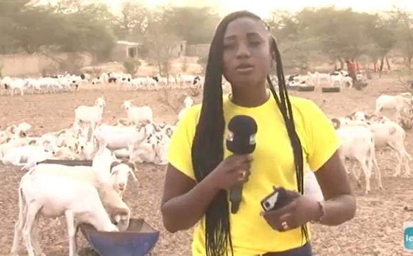 Spécial promo Tabaski: Toutes races de  moutons à vendre à la Bergerie Makhmoud Fall, en Face Monument Baye à Louga (Vidéo)