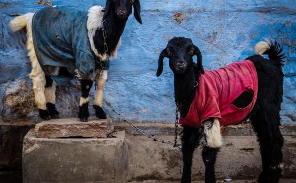 Incroyable mais vrai ! Une chèvre arrêtée et son propriétaire placé en détention provisoire par un Juge