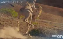 Vidéo: une girafe contre l'attaque d'une lionne et devient une star du web, regardez!!