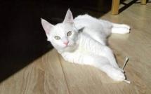 Disparu en Corse, le chat retrouvé en Bretagne