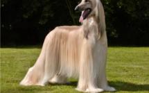 Photo-Regardez ce chien et ses poils: Afghan Hound