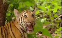 Vidéo- Regardez ce singe taquin face au Tigre